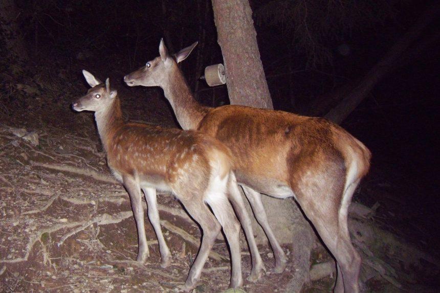 Patologia della valvola mitrale: una ricerca medica condotta sui cuori di cervo forniti dai cacciatori