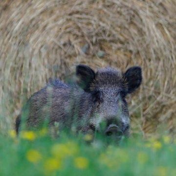 Corso di formazione per la caccia collettiva al cinghiale: un corso a cura di Federcaccia Lecco