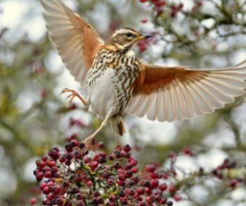 """""""Gli uccelli cacciabili in Europa: una revisione dello status e delle priorità di conservazione"""": sassello e cesena in miglioramento; caccia come incentivo al sostegno del mantenimento di habitat e specie"""