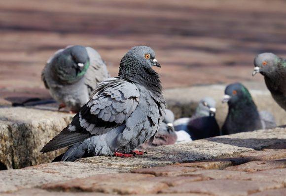 Controllo dei piccioni in Lombardia: 600 cacciatori autorizzati dalla Regione