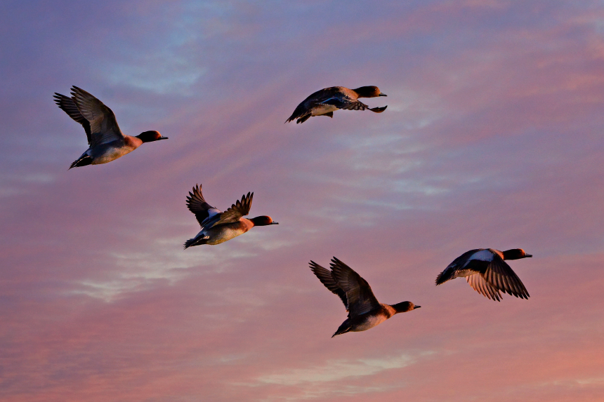 Sorveglianza attiva in Lombardia dei cacciatori contro il virus dell'aviaria