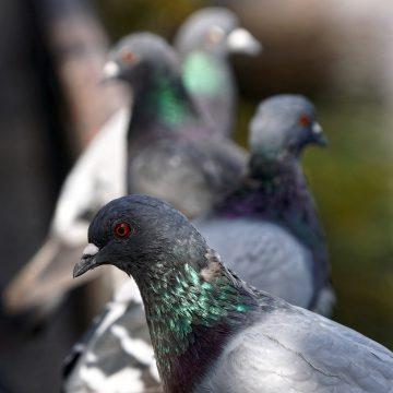 Agricoltura, Rolfi: via libera a controllo dei piccioni. Danni per 1 milione alle coltivazioni